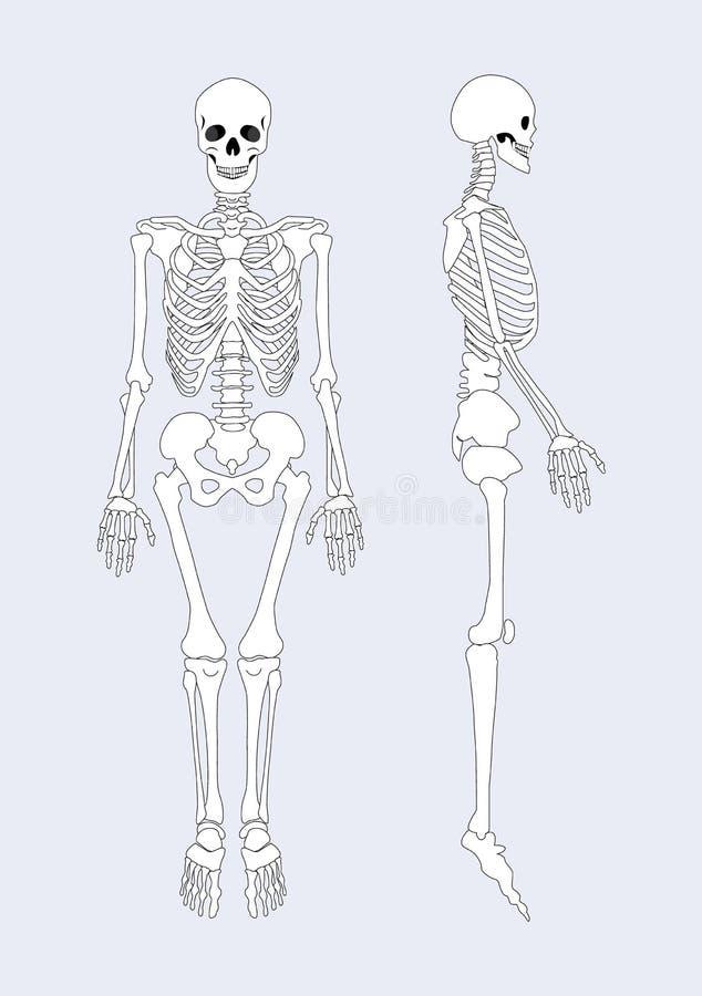 Skeletachtig Systeem van Menselijk Lichaams Vectorillustratie vector illustratie