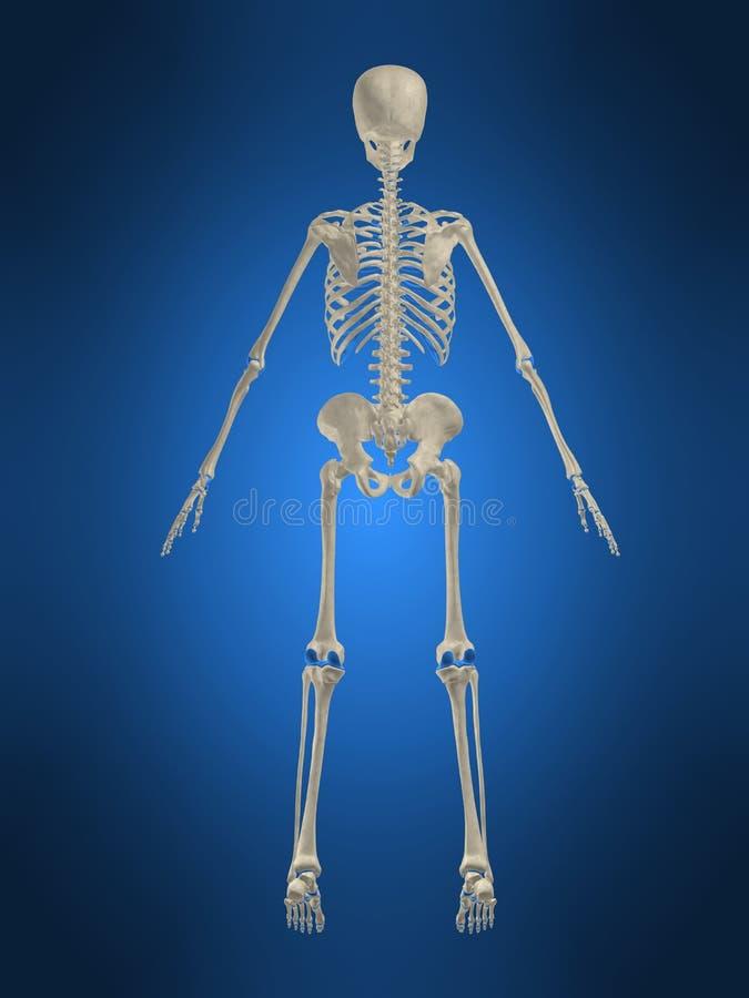 Skeletachtige rug royalty-vrije illustratie