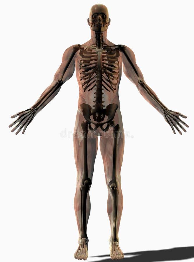 Skeletal Anatomical Human Royalty Free Stock Image