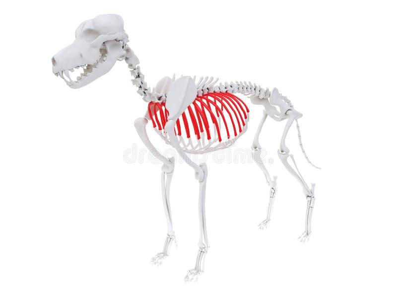 Skeletal anatomy - ribs. 3d rendered anatomy illustration of the dog skeletal anatomy - ribs royalty free illustration