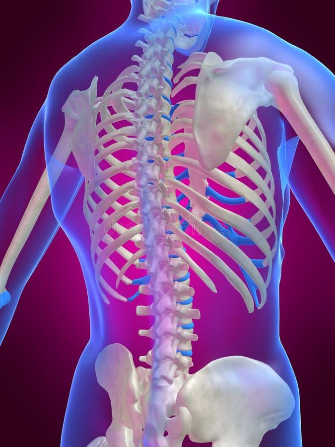Skeletal back stock illustration