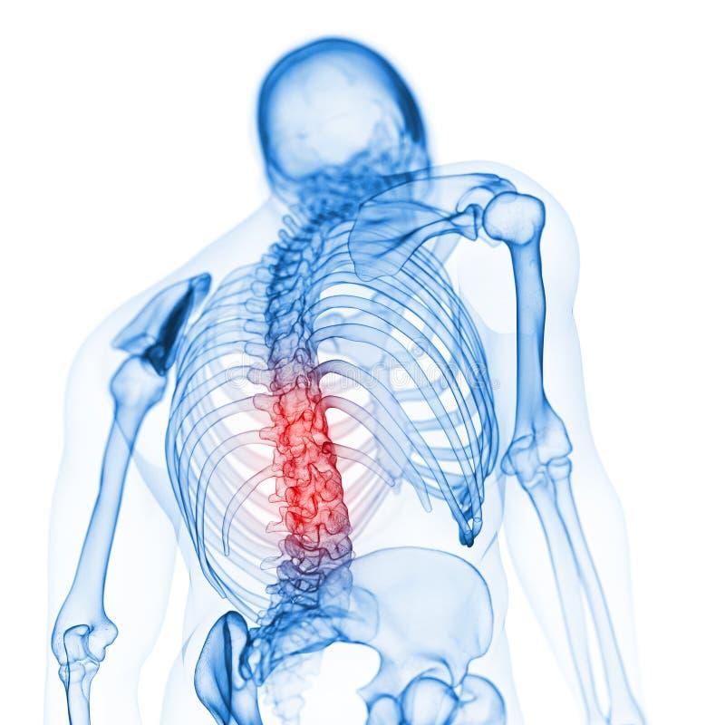 The skeletal back stock illustration
