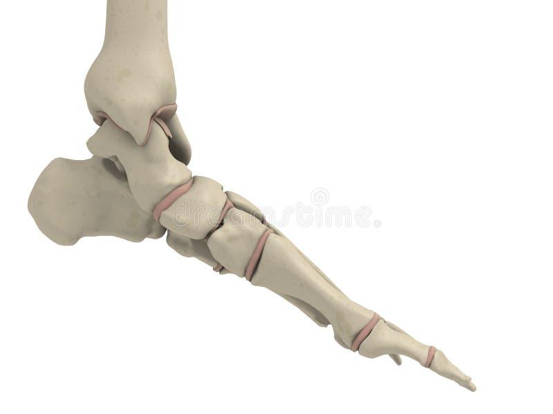 Skeletal Foot Stock Illustration Illustration Of Rheumatism 5563354
