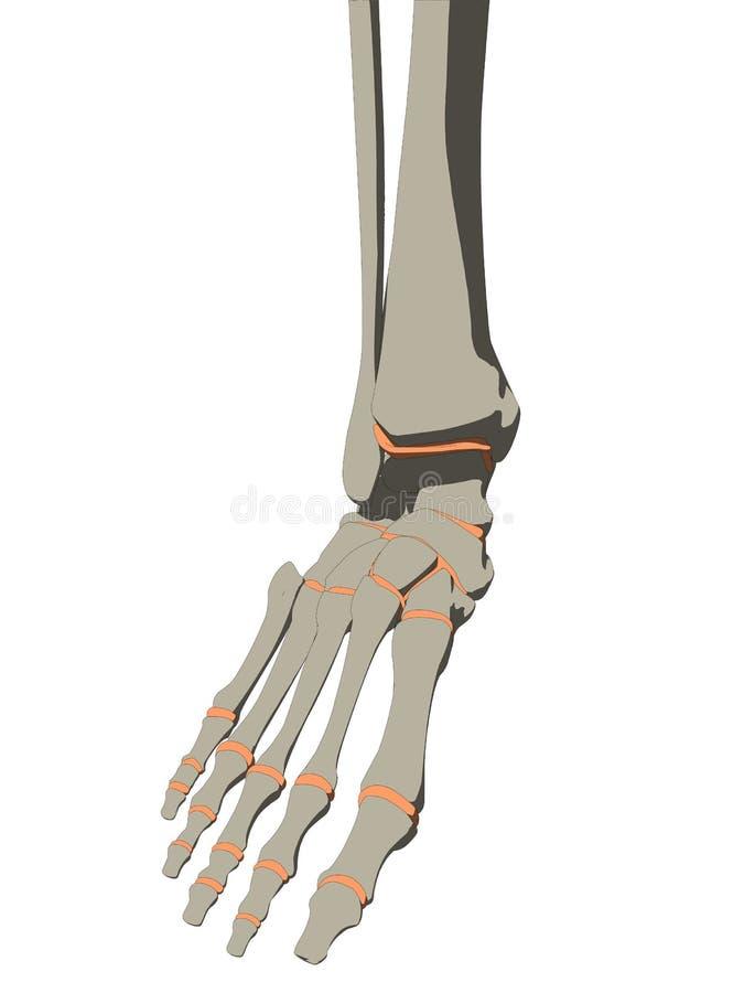 Skeletal Foot Stock Vector Illustration Of Medical Physical 9580059