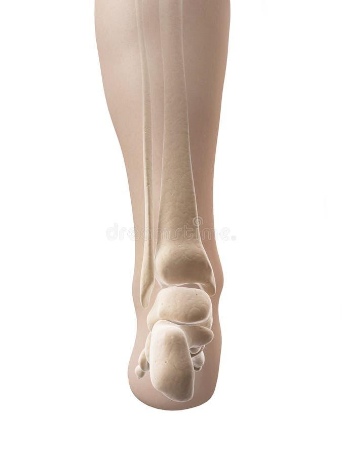 Skeletal foot anatomy stock illustration. Illustration of fibula ...