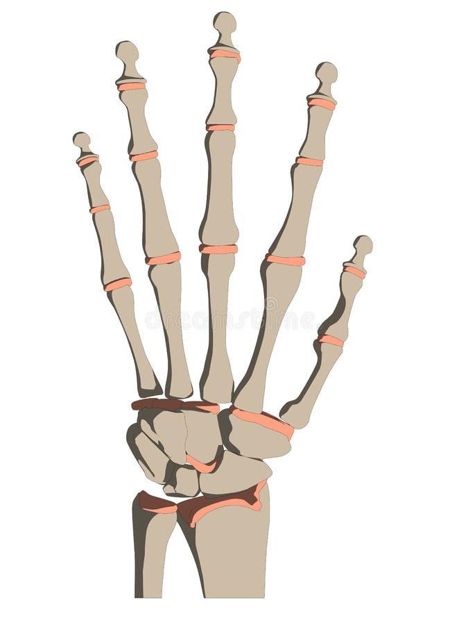 Skeletal Hand Stock Vector Illustration Of Wrist Anatomy 9580153