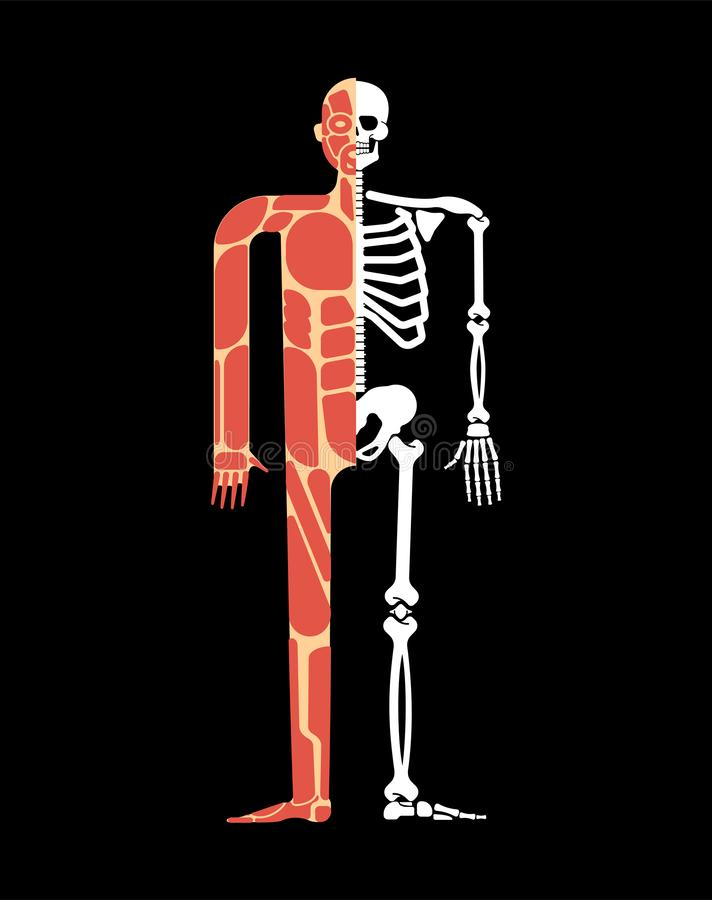 Skeletal muscle system. Skeleton and Muscular anatomy. Bones and muscles system human body royalty free illustration