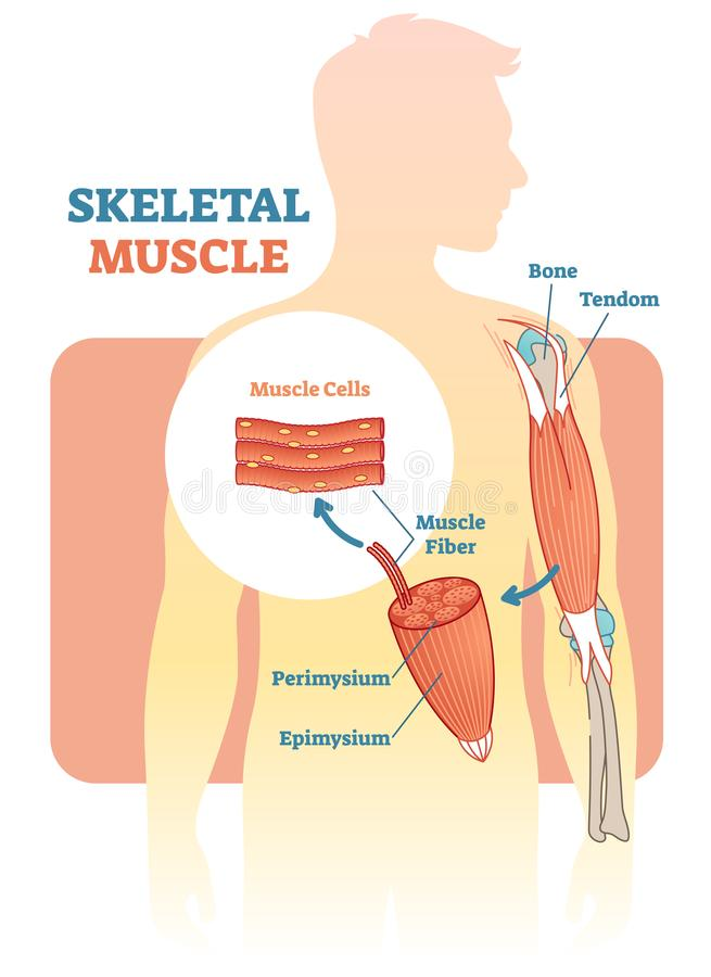 Skeletal muscle vector illustration diagram, anatomical scheme with human hand. royalty free illustration