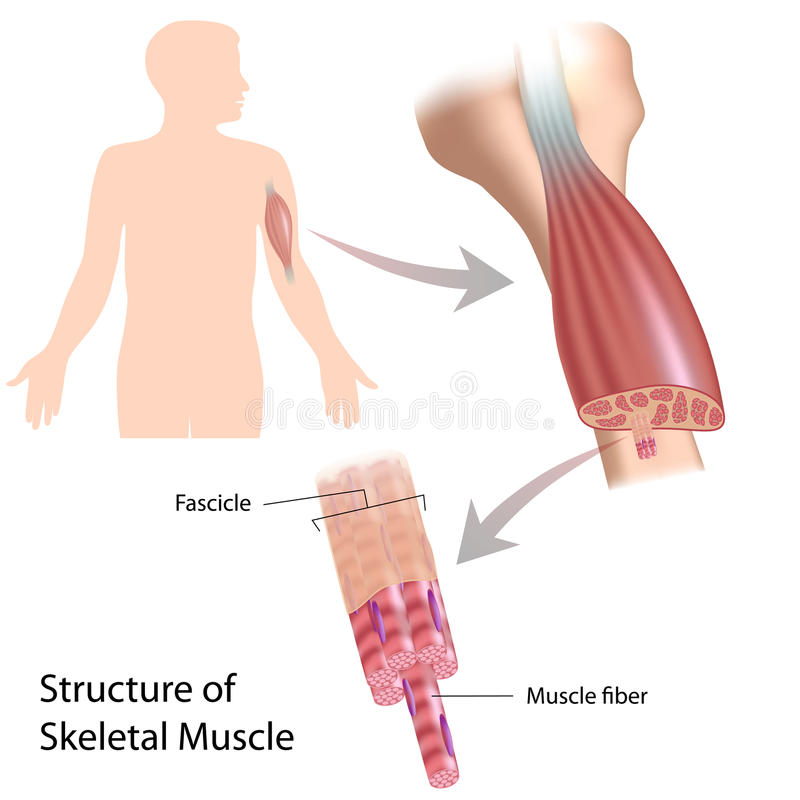 Skeletal muskelstruktur stock illustrationer