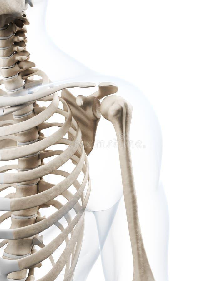 Skeletal shoulder stock illustration. Illustration of illustration ...
