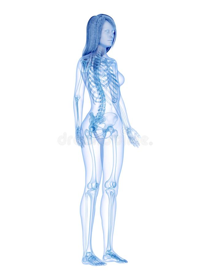 The skeletal system. 3d rendered medically accurate illustration of the skeletal system royalty free illustration