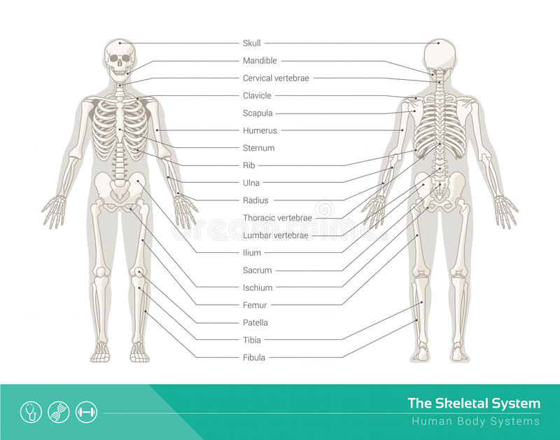 The skeletal system. The human skeletal system, vector illustrations of human skeleton front and rear view royalty free illustration