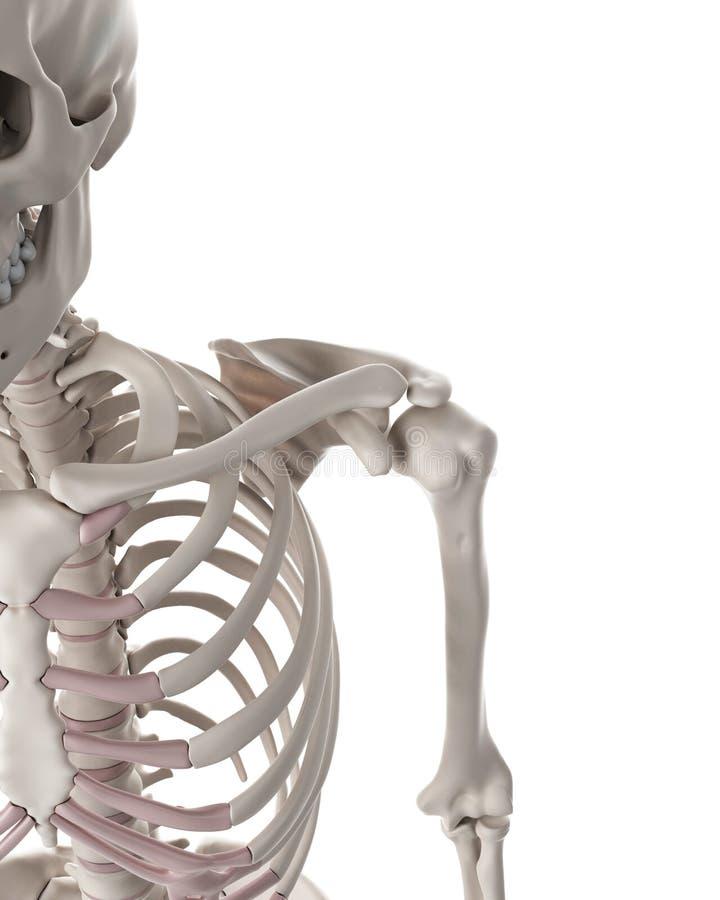 The Skeletal System The Shoulder Stock Illustration Illustration