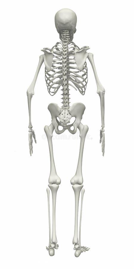 Skeleton stock illustration