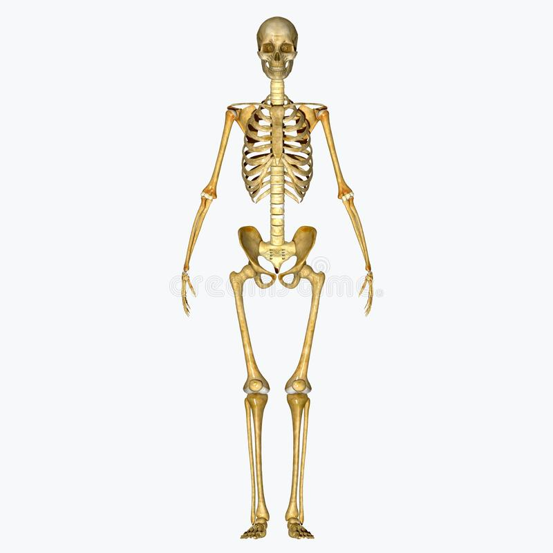 Free Skeleton Stock Image - 43014241