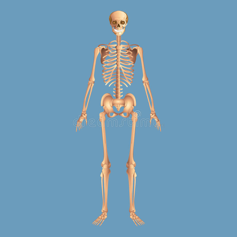 Free Skeleton Anatomy Human Isolated On A Blue Background Stock Photos - 92247973