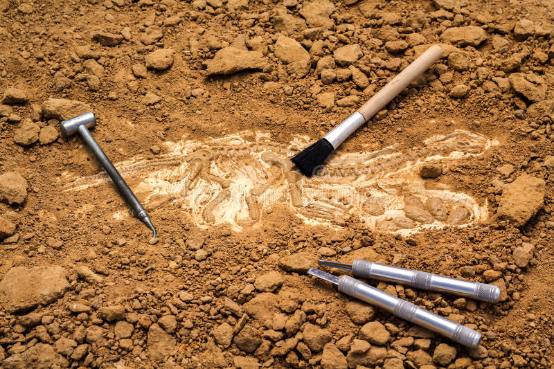 Skeleton and archaeological tools.Training for dig fossil.Simula. Ted same as real digging stock photography
