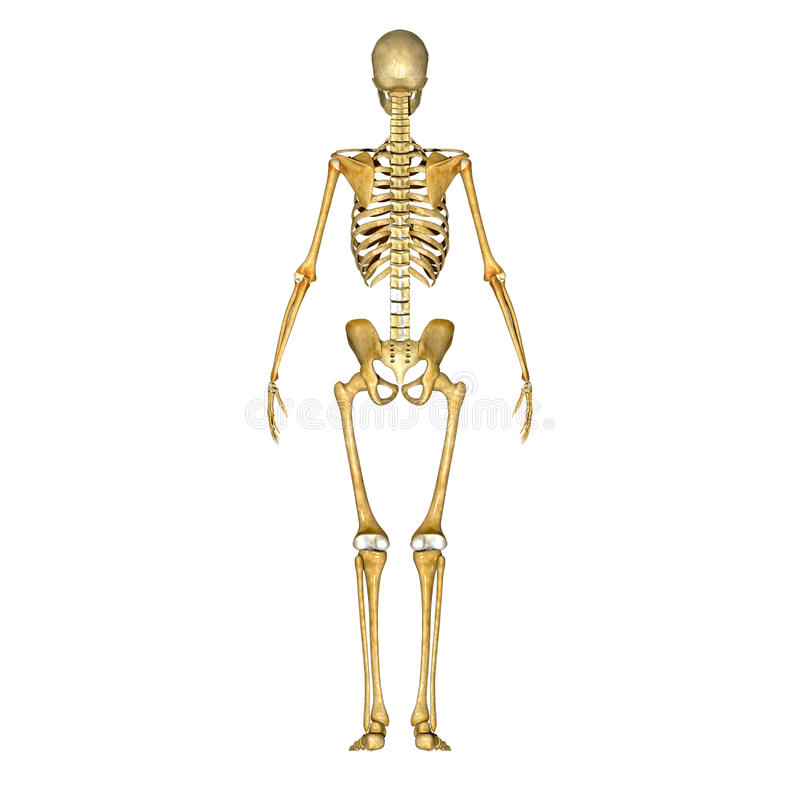 Skeleton Back Stock Illustration Illustration Of Body 43014394