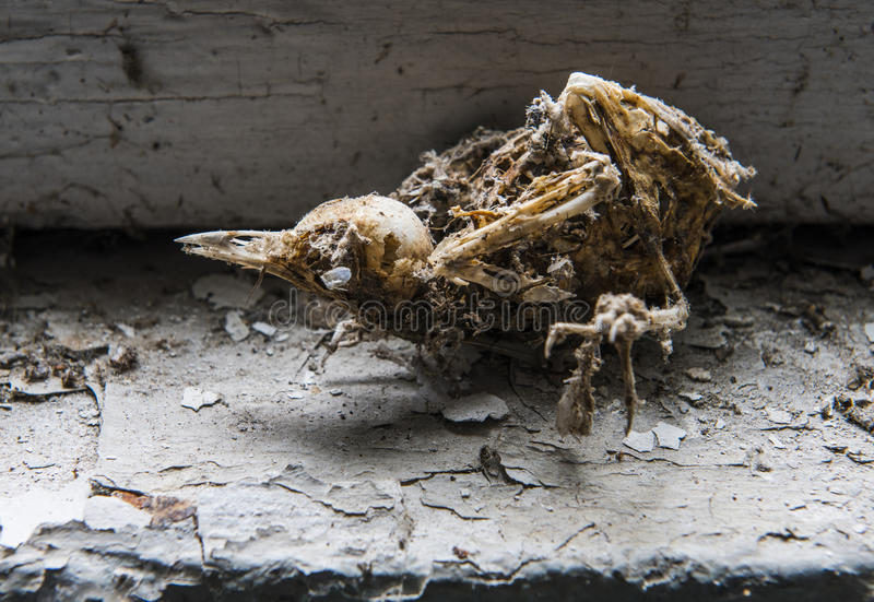 Skeleton of Bird Chernobyl. Skeleton of a bird in an abondaned house in Chernobyl, in the Exclusion Zone, Ukraine royalty free stock photo