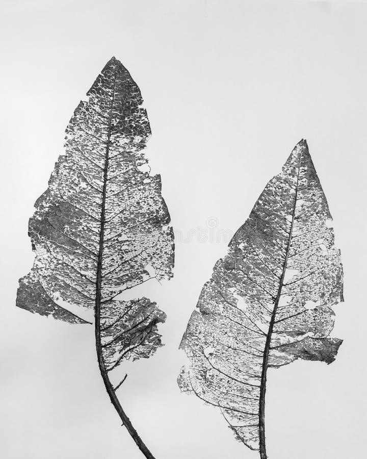 Skeleton Blätter von Wyethia mollis auf weißem Hintergrund stockbild
