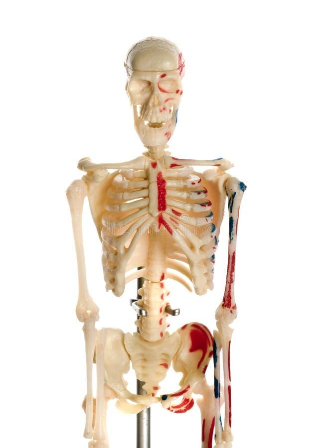 Free Skeleton Breadboard Model Royalty Free Stock Photography - 7914457