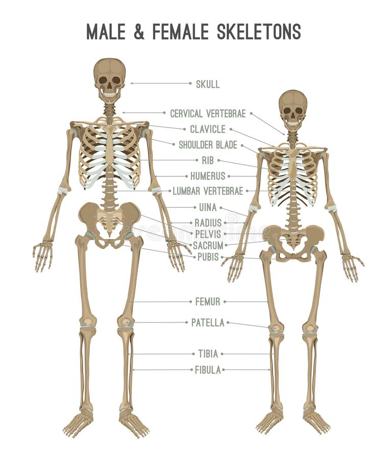 Skeleton differences image stock vector. Illustration of comparison ...