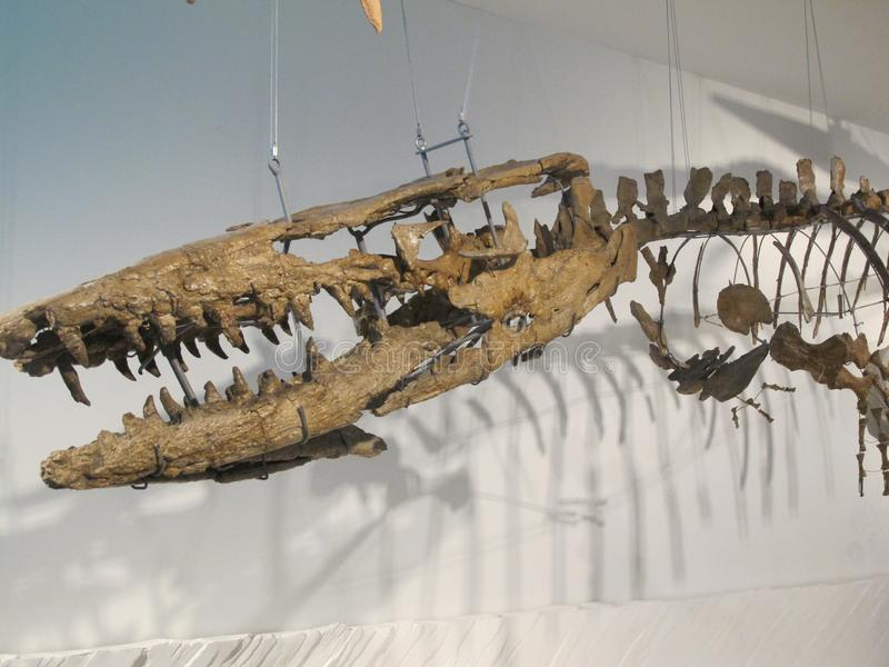 Head of a Dinosaur. Skeleton of Dinosaur in the royal belgian institute of natural sciences stock photo