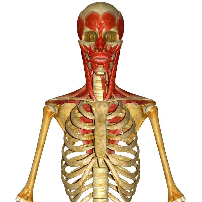 Skeleton with facial muscles stock illustration