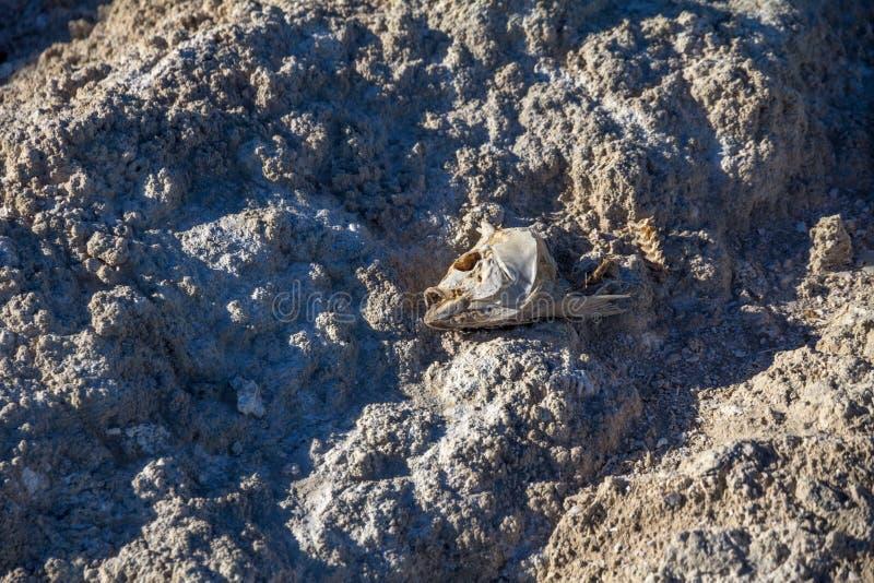 Skeleton Fische gehen auf rauer salziger Oberfläche von Salton-Meer voran lizenzfreie stockfotos