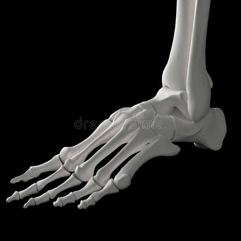 Download Skeleton foot stock illustration. Image of anatomy, person - 24486376