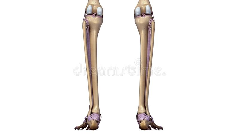 Skeleton Foot With Ligaments Back View Stock Illustration