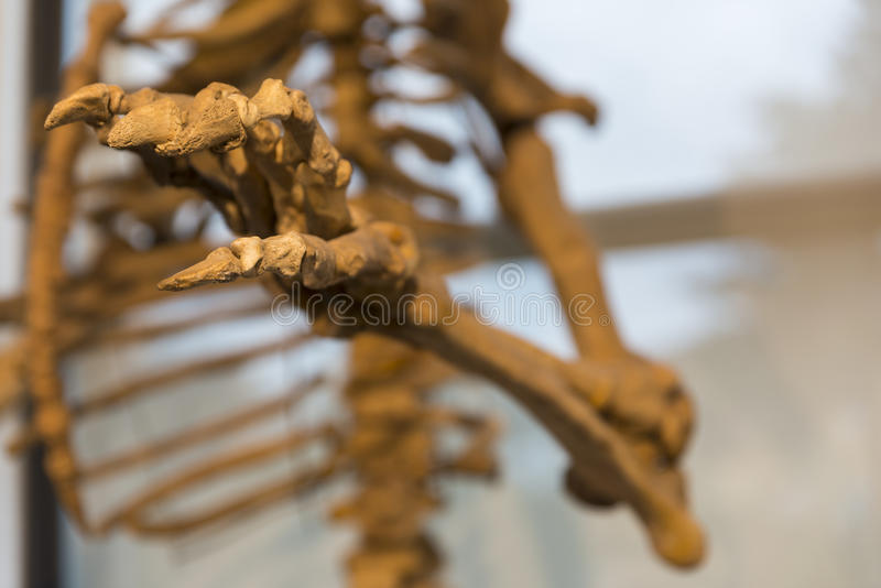 Skeleton of a fossil bear stock images