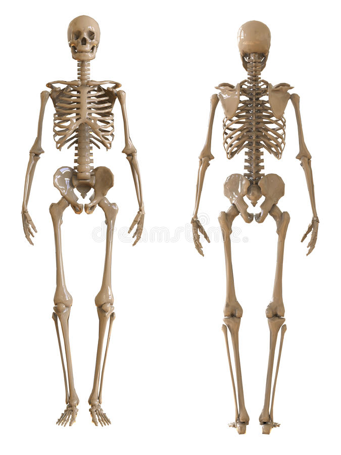 skeleton front and rear view. plastic layout of the human skeleton, Skeleton