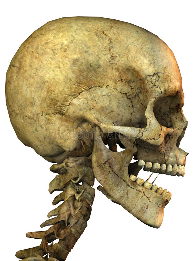 Download Skeleton head stock illustration. Image of joint, scary - 13394805