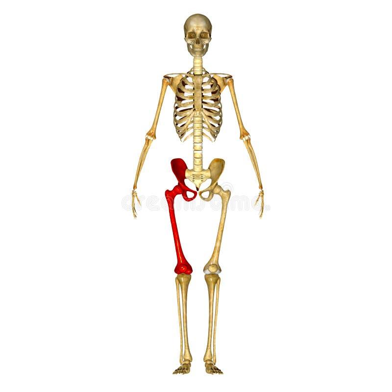 Skeleton: Hip And Femur Bones Stock Illustration - Illustration of ...