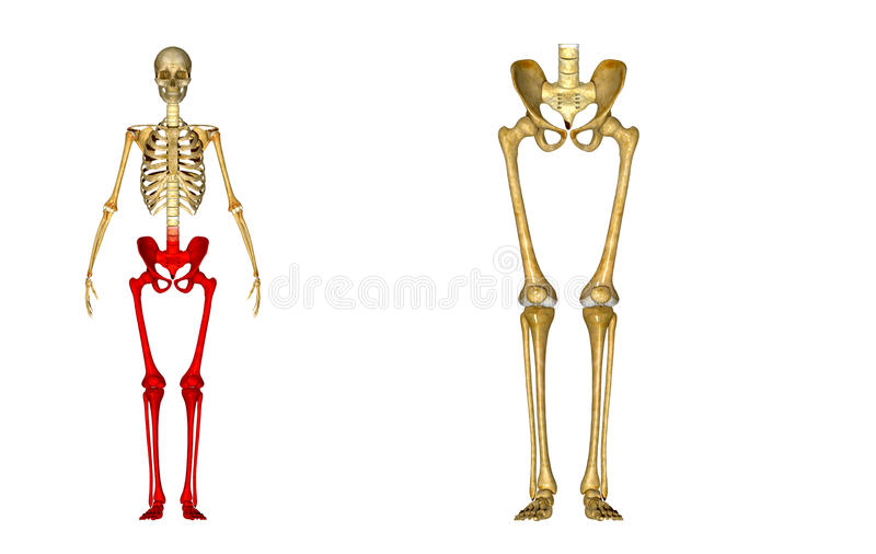 Skeleton: Hip, Femur, Tibia, Fibula, Ankle And Foot Bones Stock ...