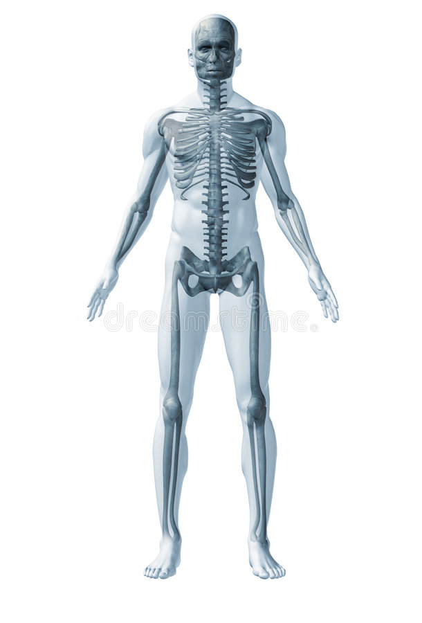 Download Skeleton human stock illustration. Image of human, confidence - 7965815