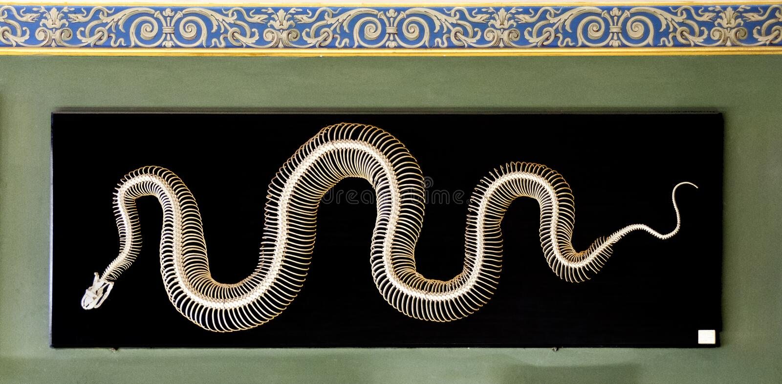 Skeleton of an indian python royalty free stock images