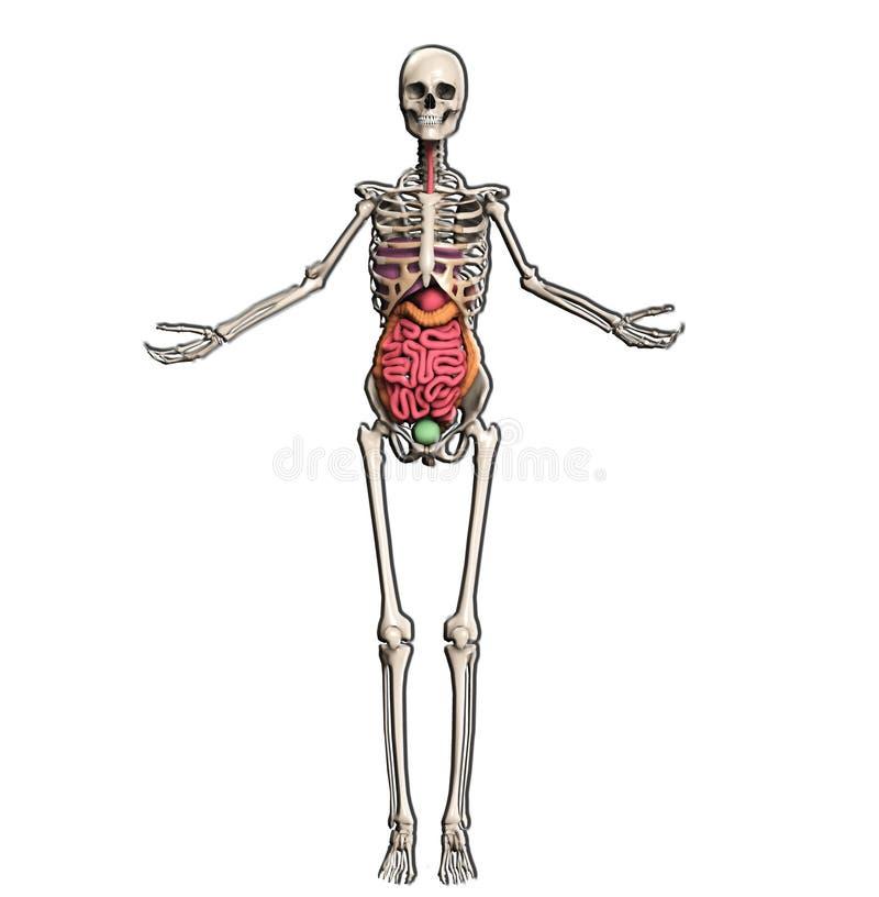 Download Skeleton With Internal Organs Stock Illustration - Image: 22256013