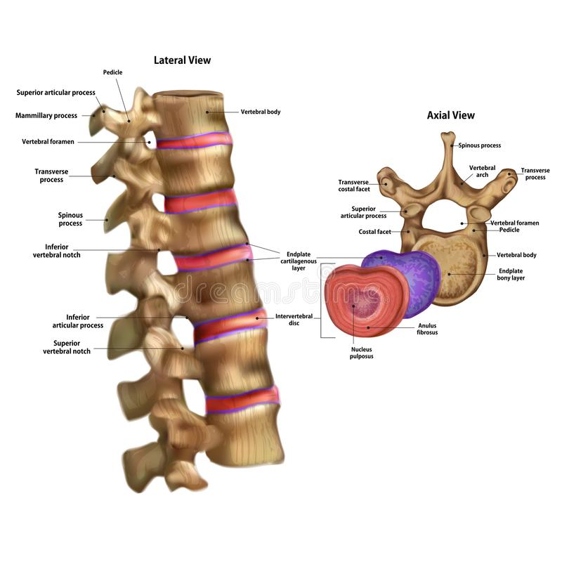 Skeleton. Intervertebral disc with the name vector illustration