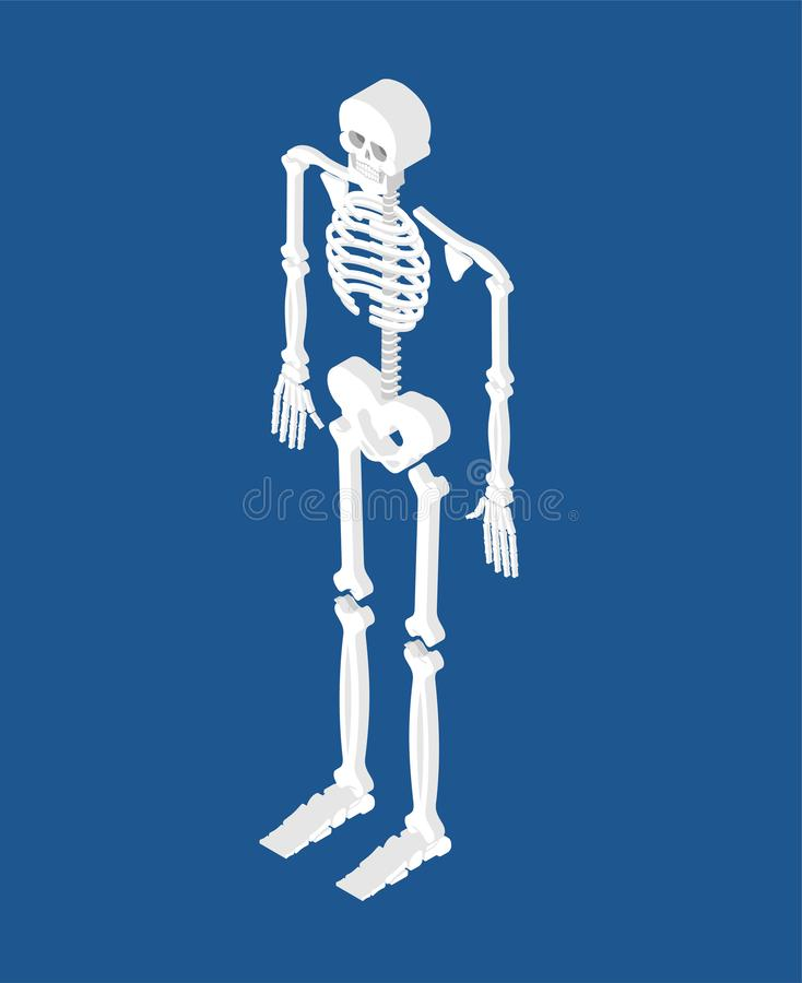 Skeleton isometric isolated. 3D Skull and Bones. Pelvic bone and vector illustration
