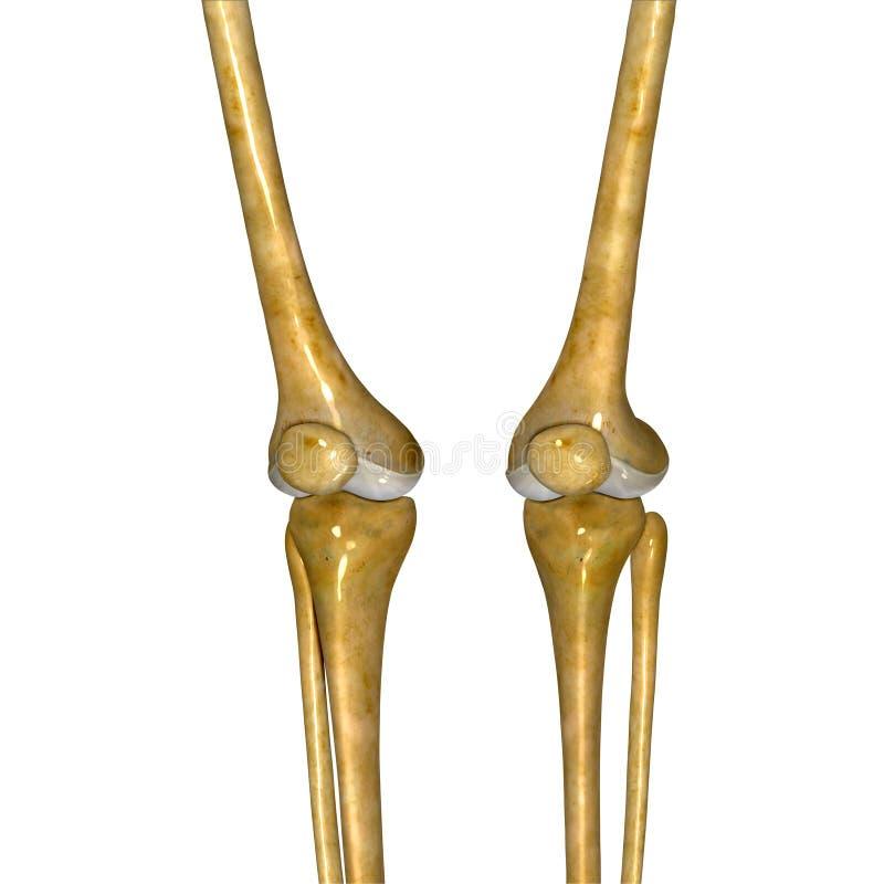 Skeleton Knie stockbild