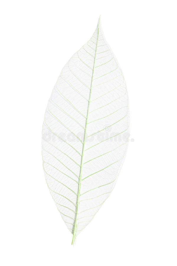 Download Skeleton leaf stock photo. Image of space, green, details - 19763874