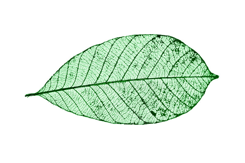 Skeleton Leaf stock photos