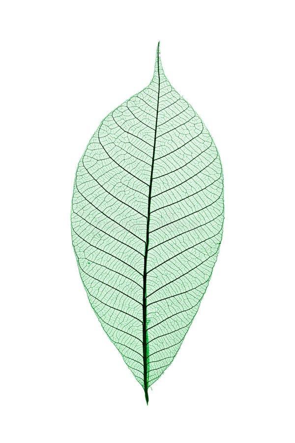 Free Skeleton Leaf Royalty Free Stock Images - 3576189