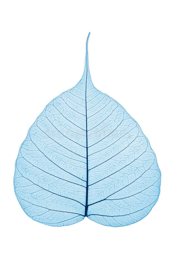 Skeleton Leaf stock photography