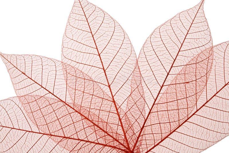 Skeleton Leaves stock image
