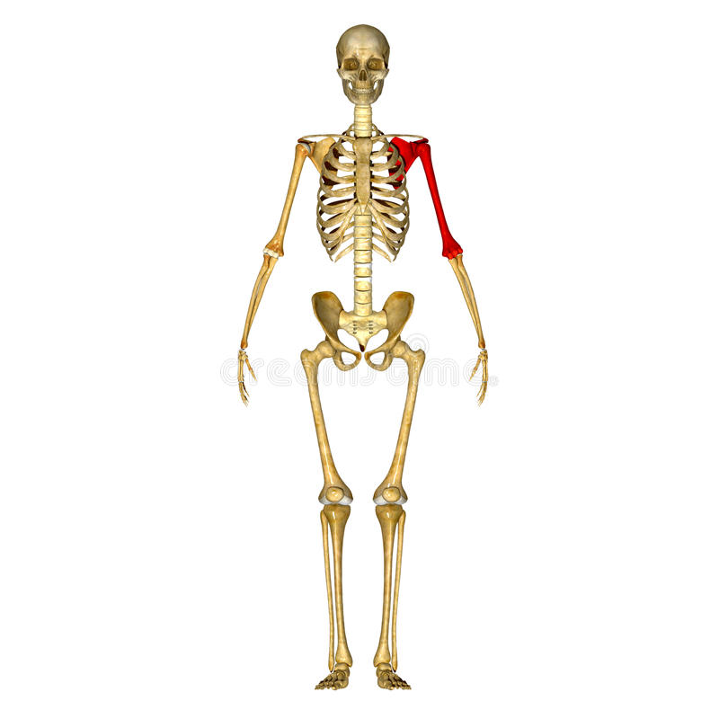 Skeleton: Left Hand bone stock illustration