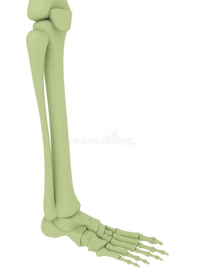 Skeleton Leg. 3d skeletal leg, over white stock illustration