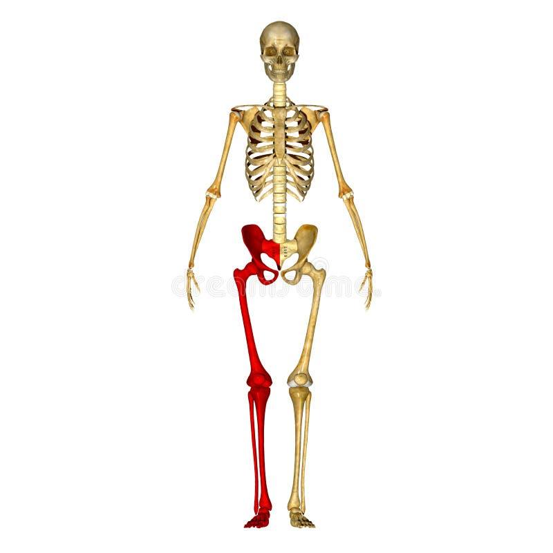 Skeleton: Leg bones stock illustration
